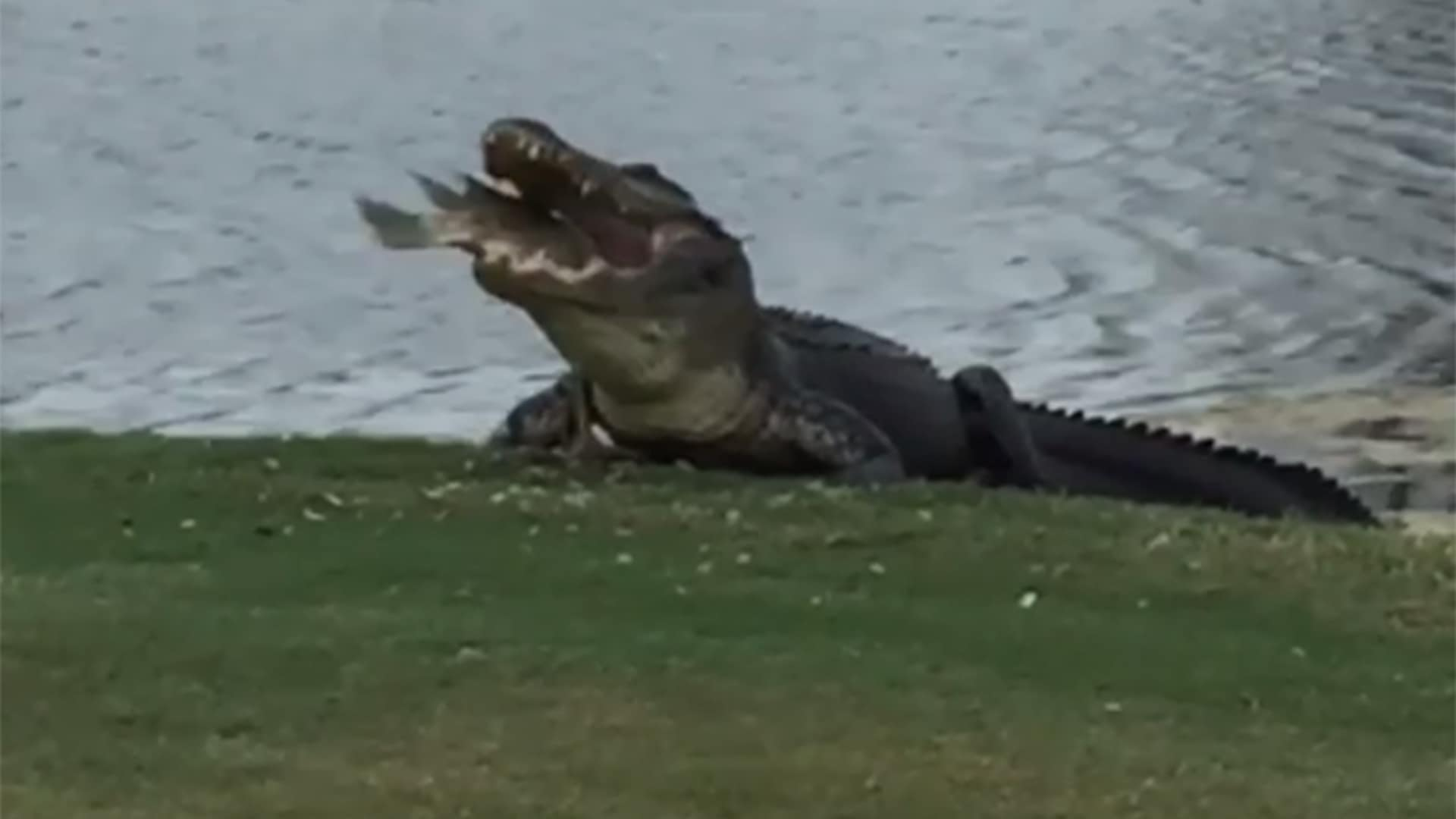 Watch Giant Gator Chomps Big Fish On Florida Course Golf Channel