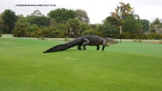 Go gators! Thirteen-footer walks Florida course
