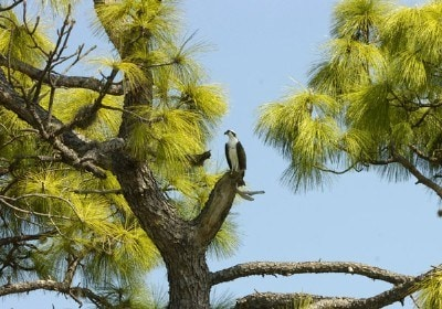 An Osprey perches in a Florida pine tree near the ninth green during the second round of the PODS Championship at Innisbrook Resort and Golf Club in Palm Harbor, Florida on March 9, 2007. Photo by Al Messerschmidt/WireImage.com