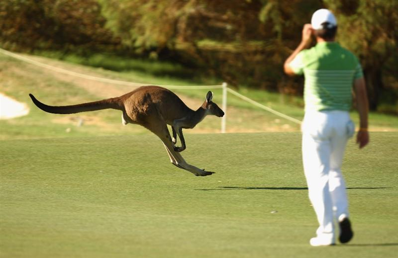 PERTH, AUSTRALIA - FEBRUARY 19:  A Kangaroo is seen on the during day one of the 2009 Johnnie Walker classic held at The Vines Resort and Country Club February 19, 2009 in Perth, Australia.  (Photo by Ian Walton/Getty Images)