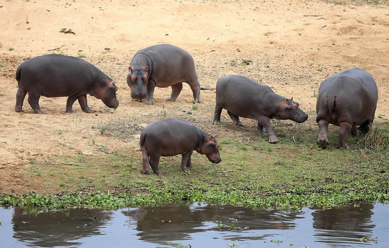 A gathering of hippo