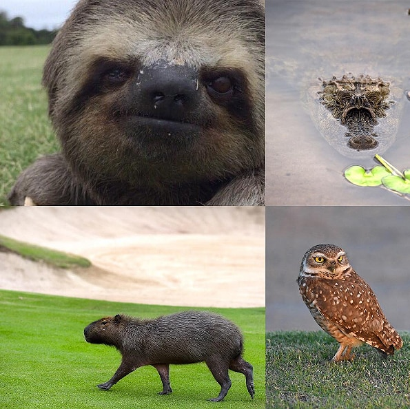 Animals on Olympic golf course
