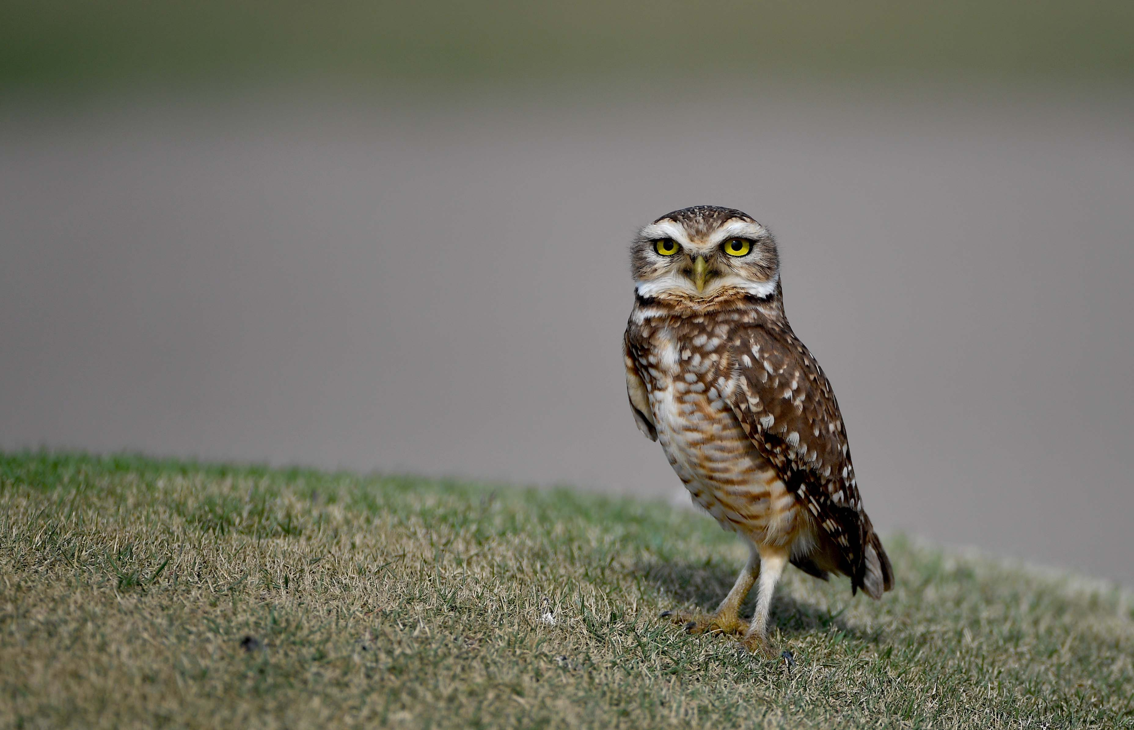 Brazilian burrowing owl