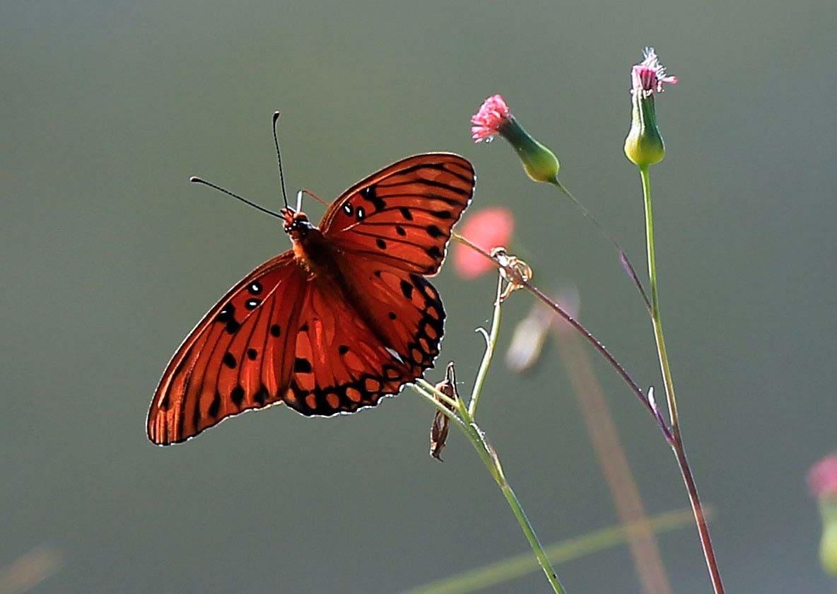A butterfly flutters by