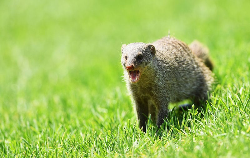 Mongoose(s) on the loose!