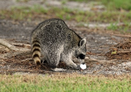 MIAMI - MARCH 19: An inquisitive Racoon inspects a golf ball beside the 1st fairway during practice for the 2008 World Golf Championships CA Championship at the Doral Golf Resort & Spa, on March 19, 2008 in Miami, Florida.  (Photo by David Cannon/Getty Images)