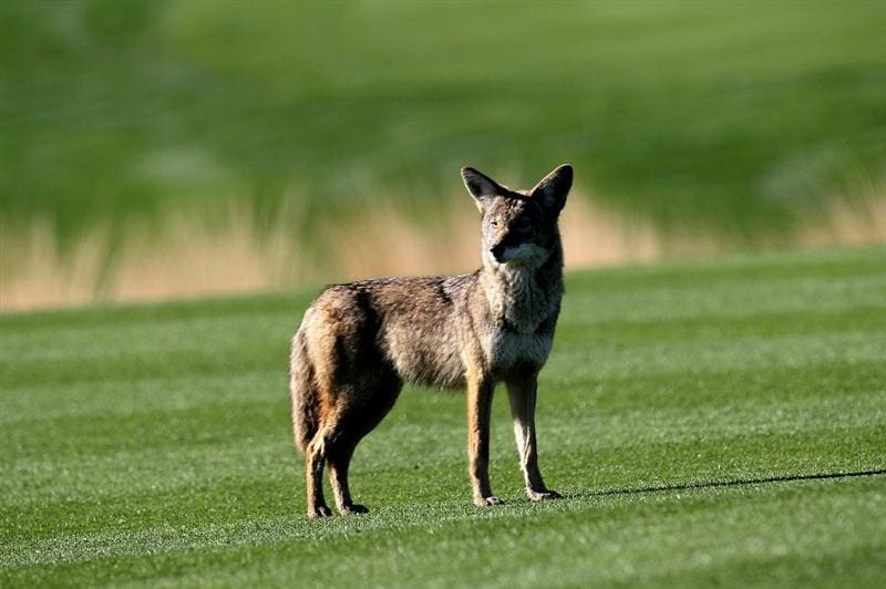 LA QUITNA, CA - JANUARY 24: A coyote stands on the 12th fairway at SilverRock Resort during the fourth round of the Bob Hope Classic on January 24, 2010 in La Quinta, California. (Photo by Stephen Dunn/Getty Images)