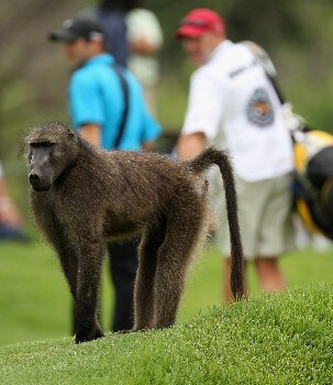 SUN CITY, SOUTH AFRICA - NOVEMBER 29:  A Baboon walkes in front of the 3rd green watched Trevor Immelman of South Africa during the first round of the Nedbank Golf on the Gary Player Course on November 29, 2007 in Sun City, South Africa.  (Photo by Ross Kinnaird/Getty Images)