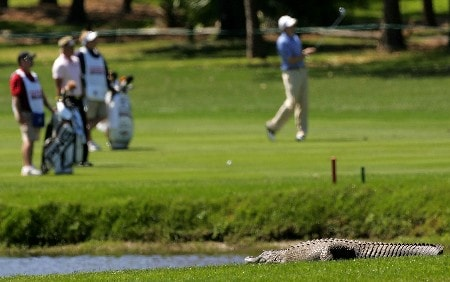PALM HARBOR, FL - MARCH 09:  An alligator lays in the sun as golfers play the 2nd hole during the final round of the PODS Championship at Innisbrook Resort and Golf Club on March 9, 2008 in Palm Harbor, Florida.  (Photo by Sam Greenwood/Getty Images)