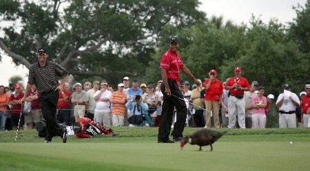MIAMI - MARCH 24:Tiger Woods of the USA is interrupted by a duck as he prepares to putt at the 16th hole and his playing partner Anders Hansen of Denmark enjoys the moment during the completion of the final round of the 2008 World Golf Championships CA Championship at the Doral Golf Resort & Spa, on March 24, 2008 in Miami, Florida.  (Photo by David Cannon/Getty Images)