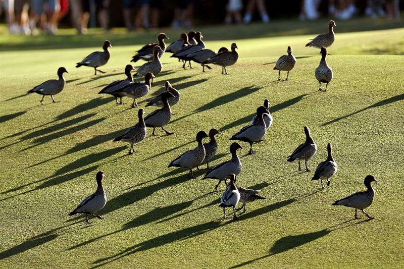 PERTH, AUSTRALIA - FEBRUARY 20: Ducks on the 11th fairway during the second round of the 2009 Johnnie Walker Classic tournament at the Vines Resort and Country Club, on February 20, 2009, in Perth, Australia  (Photo by David Cannon/Getty Images)
