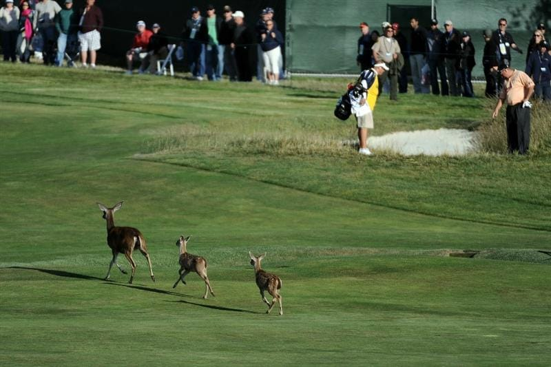 PEBBLE BEACH, CA - JUNE 19:  Deers cross the 15th hole as Brendon de Jonge of Zimbabwe waits to hit  during the third round of the 110th U.S. Open at Pebble Beach Golf Links on June 19, 2010 in Pebble Beach, California.  (Photo by Harry How/Getty Images)