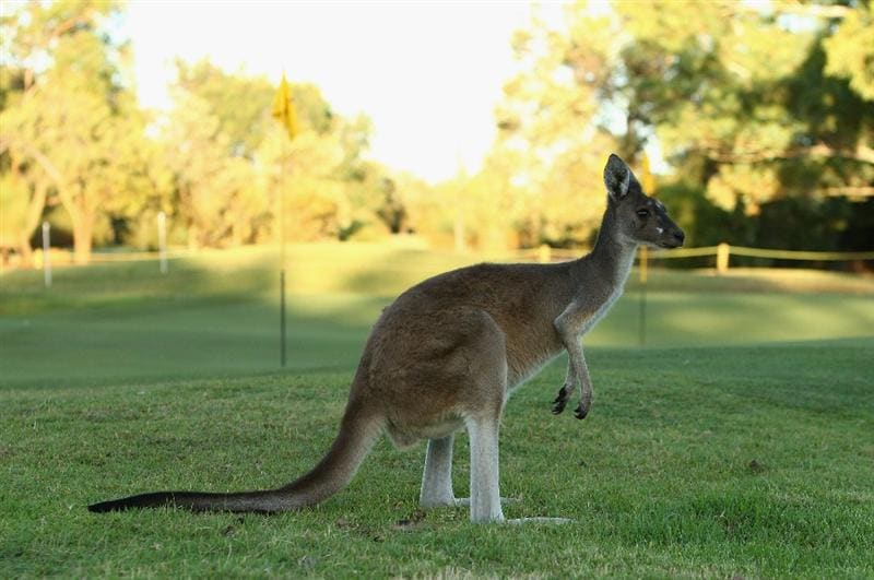 PERTH, AUSTRALIA - FEBRUARY 18:  A kangaroo is seen on the practice green during the 2009 Johnnie Walker Classic Pro Am held at The Vines Golf Club February 18, 2009 in Perth, Australia.  (Photo by Ian Walton/Getty Images)