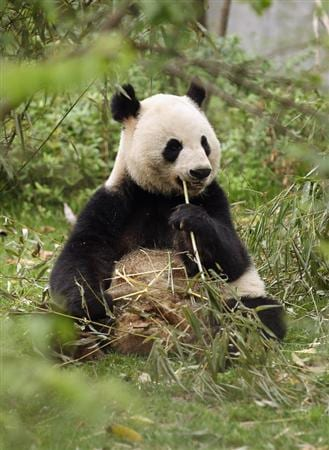 CHENGDU, CHINA - APRIL 19:  A baby Panda is seen at the Chengdu Research Base of Giant Panda Breeding on April 19, 2011 in Chengdu, China.  (Photo by Ian Walton/Getty Images)