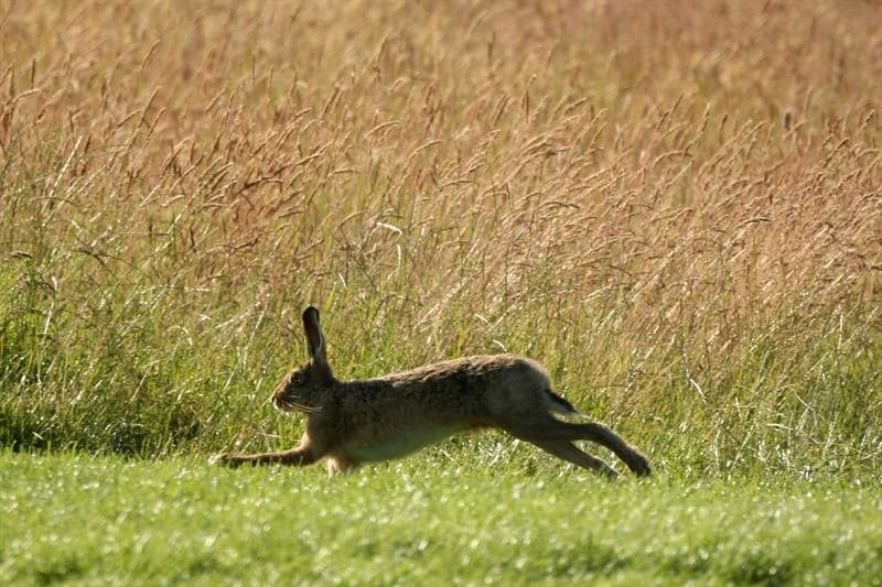LUSS, UNITED KINGDOM - JULY 10:  A hare runs up the 13th hole during the Second Round of The Barclays Scottish Open at Loch Lomond Golf Club on July 10, 2009 in Luss, Scotland. (Photo by Warren Little/Getty Images)