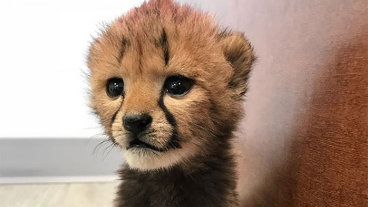 Justin Thomas Chills With Baby Cheetah At Columbus Zoo Golf Channel